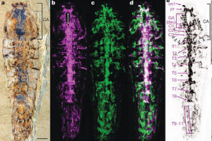 Нервова система віком в 520 мільйонів років   Зображення: Gengo Tanaka, et al., Nature, 2013