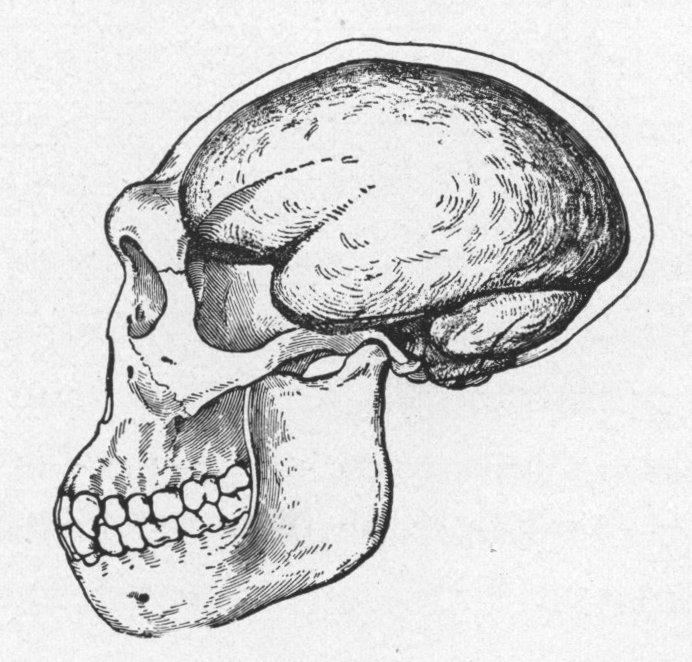 Малюнок черепа яванської людини